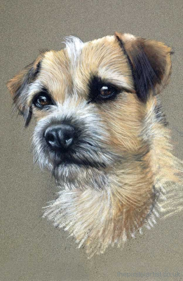 Border Terrier drawn in pastels