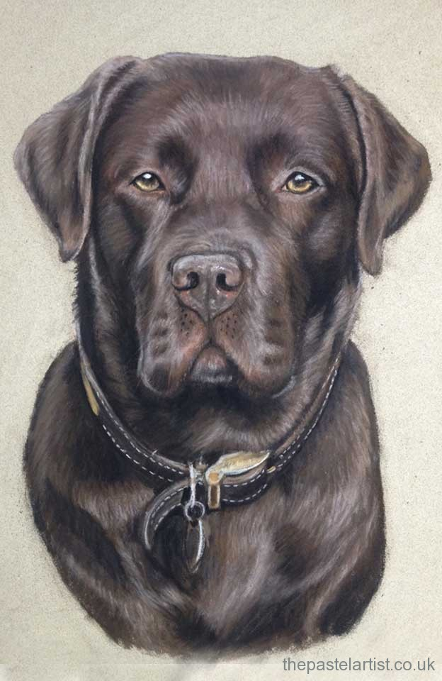 Pastel Chocolate Labrador