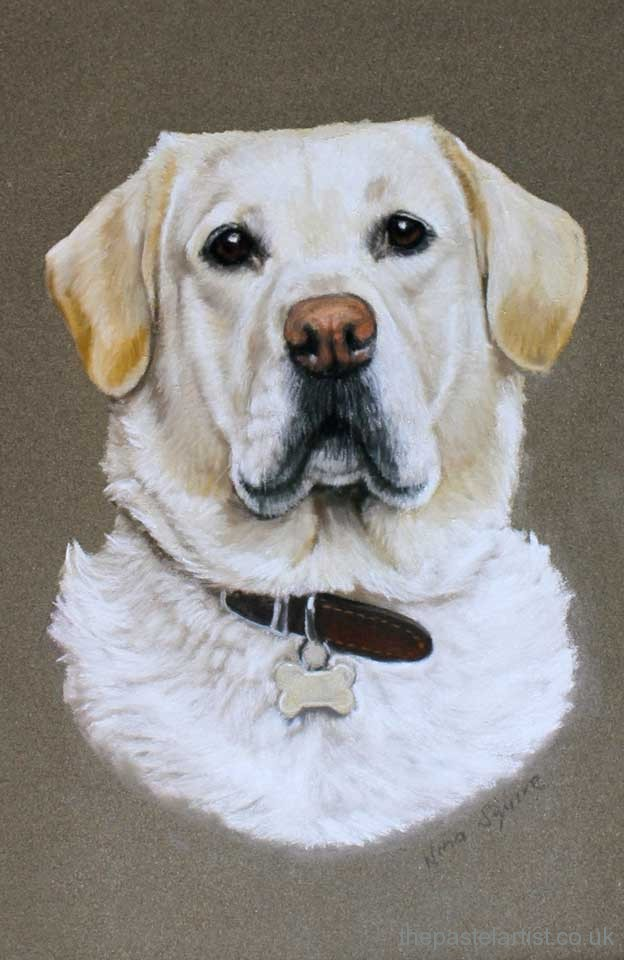 Yellow labrador drawn in pastel pencils