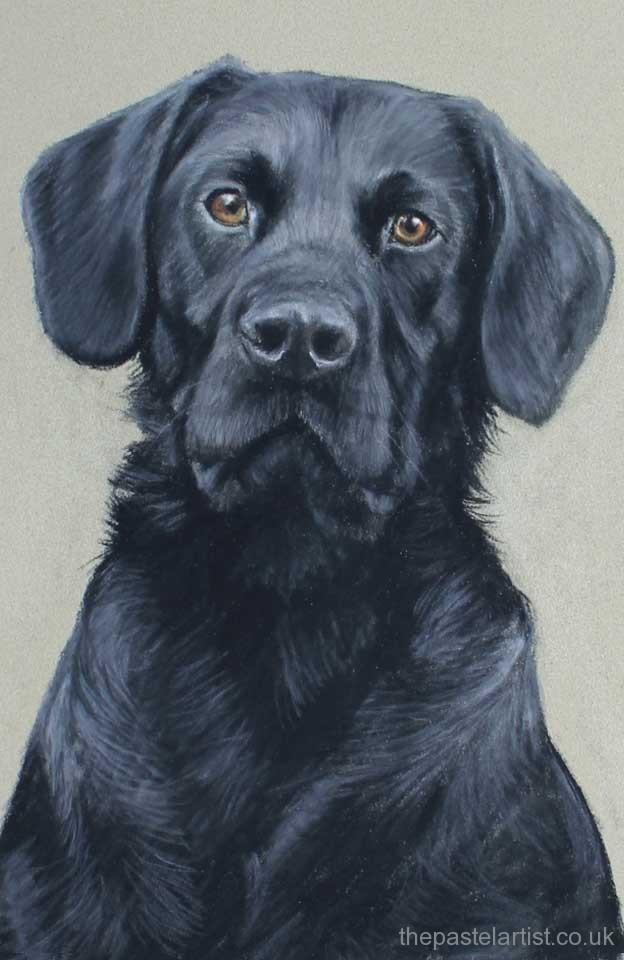 Black labrador pastel artist