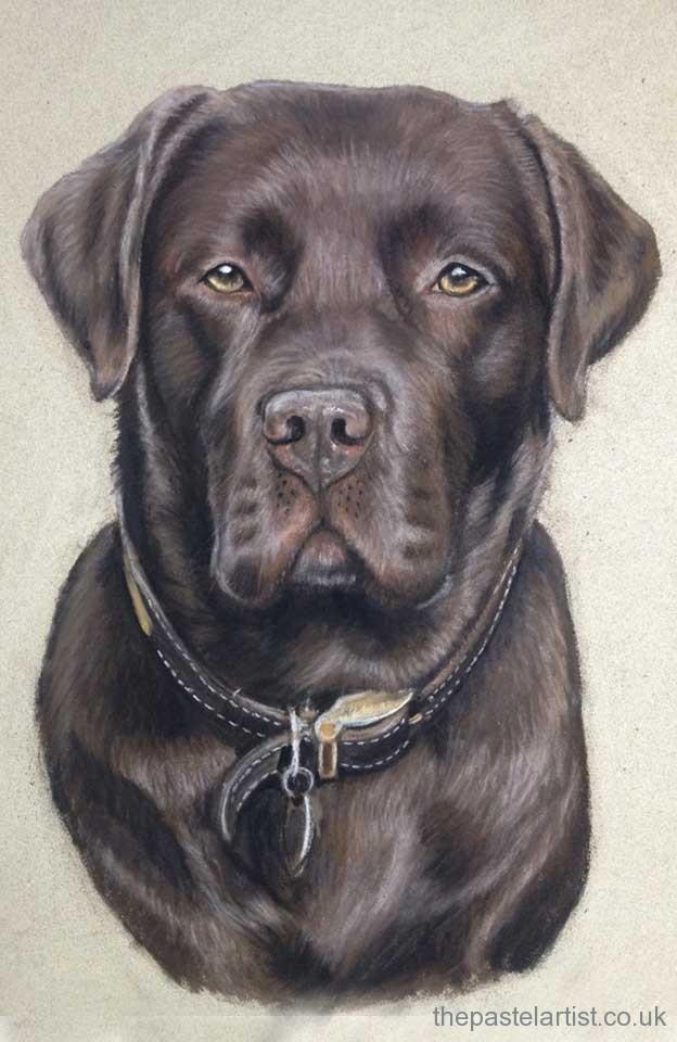 Pastel Chocolate Labrador
